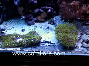 GSP  Green Star Polyps   Corallore com. Green Star Polyp Lighting Requirements. Home Design Ideas