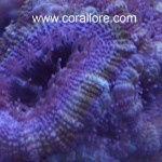 Purple blue and green acan