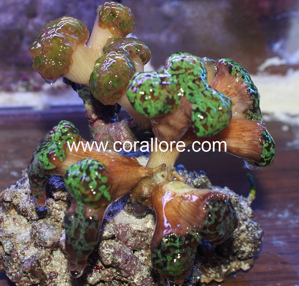 Frogspawn coral