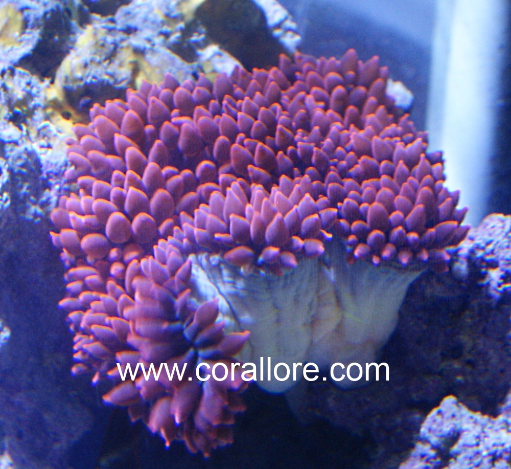 Bubble Tip Anemone Propagation Clore Com : anemone lighting requirements - azcodes.com