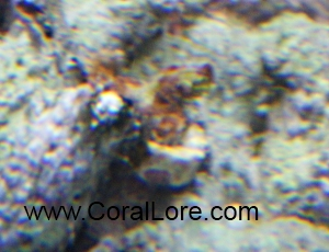 RedMontipora-Bottom-09192011-small