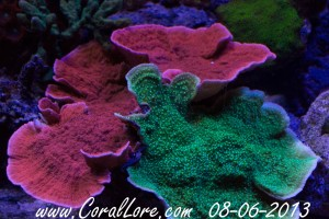 RedMontipora-Bottom-2013-08-06