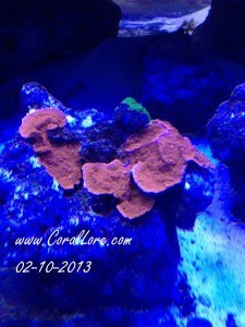 RedMontipora-bottom-2013-02-10-b