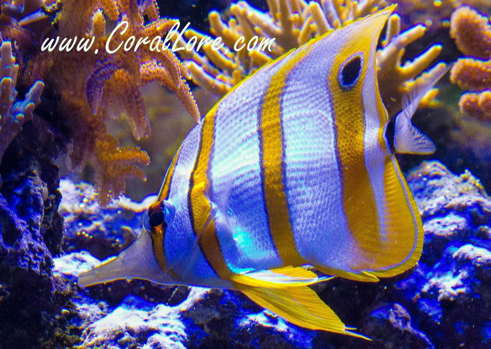 Butterfly fish saltwater