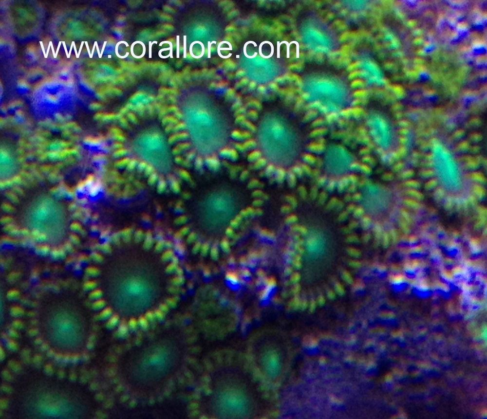 Zoanthid Coral