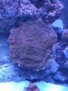 Green Montipora cap browned out during phosphate spike