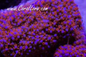 SupermanMontipora-2013-06-13