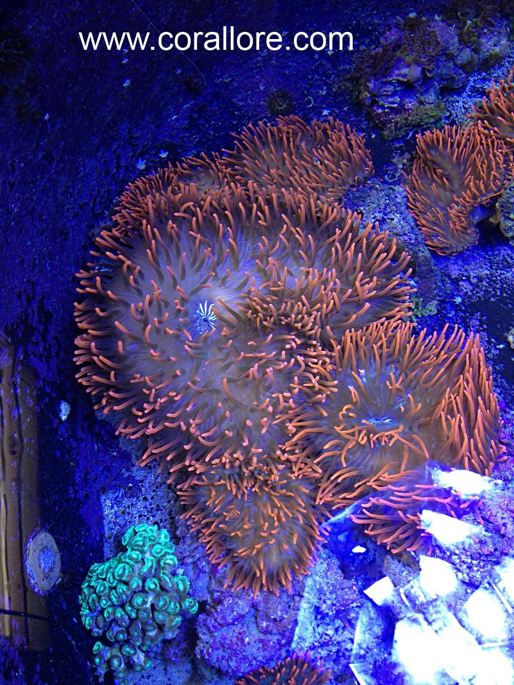 Ananomie Videos anemone shrinking | corallore